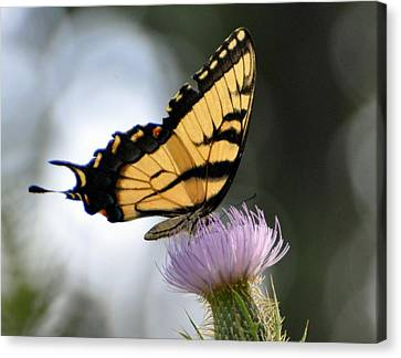 Swallowtail Canvas Print by Marty Koch
