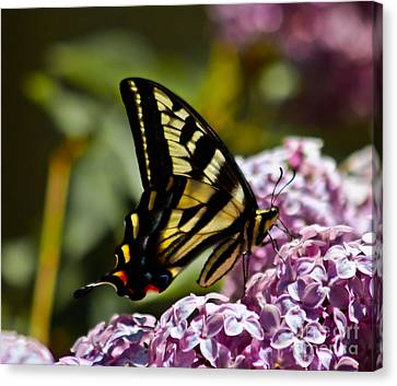 Swallowtail On Lilac Canvas Print by Mitch Shindelbower