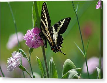 Swallowtail On Pink Canvas Print