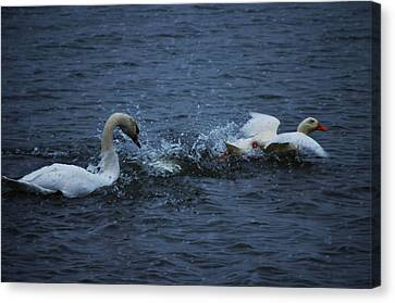Canvas Print featuring the photograph Swan Attack by Brian Stevens