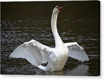 Canvas Print featuring the photograph Swan Hugs by Brian Stevens