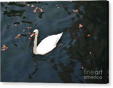 Swan In Autumn Canvas Print by Kathleen Pio