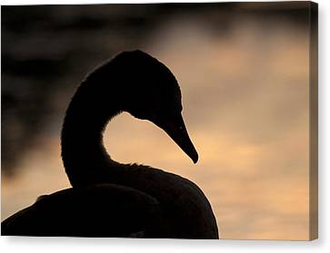 Swan In Sunset Canvas Print by Michael Mogensen