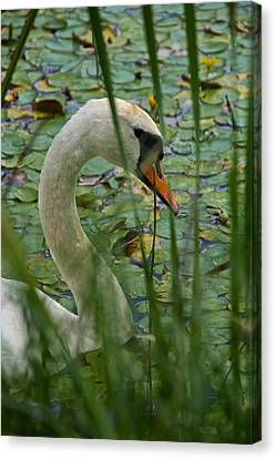 Swan Naturally Canvas Print by Odd Jeppesen