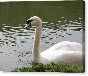 Swan Canvas Print by Susan Alvaro