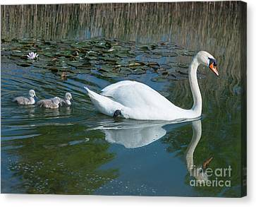Swan With Cygnets Canvas Print by Andrew  Michael