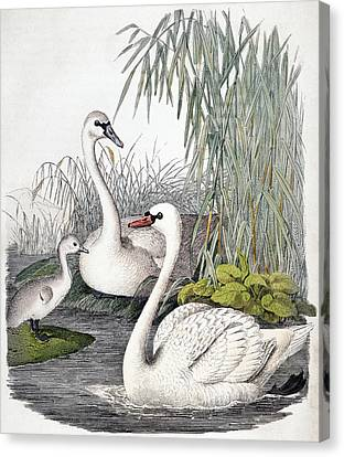 Swans, C1850 Canvas Print by Granger