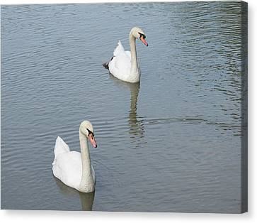Swans Drifting Along Canvas Print by Corinne Elizabeth Cowherd