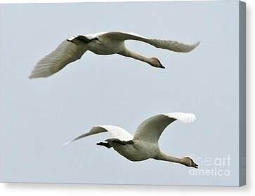 Swans Flying South Canvas Print by Diane Folaron