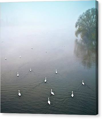 Swans In Log On River Neckar Canvas Print by Ulrich Mueller