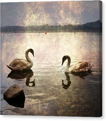 swans on Lake Varese in Italy Canvas Print