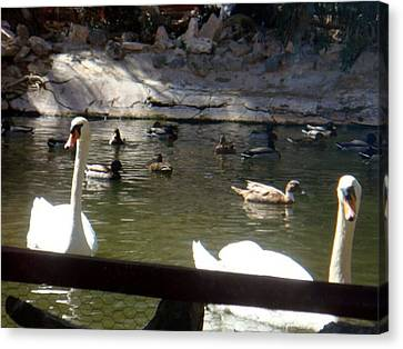 Swans On The Lake Canvas Print by De Beall