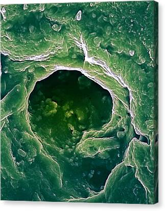 Sweat Pore, Sem Canvas Print by Biomedical Imaging Unit, Southampton General Hospital
