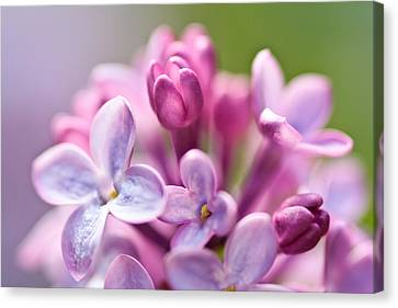 Sweet Lilac Canvas Print by Mitch Shindelbower