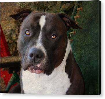 Sweet Little Pitty Canvas Print by Larry Marshall