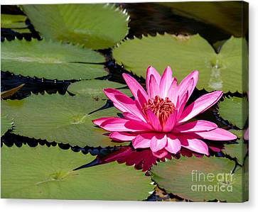 Sweet Pink Water Lily In The River Canvas Print by Sabrina L Ryan