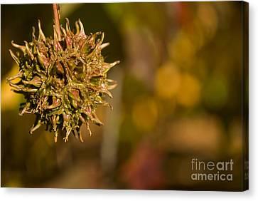 Sweetgum Seed Pod Canvas Print by Heather Applegate