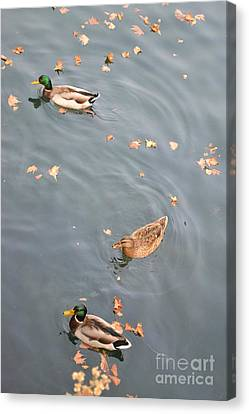 Swimming Ducks And Autumn Leaves Canvas Print by Kathleen Pio