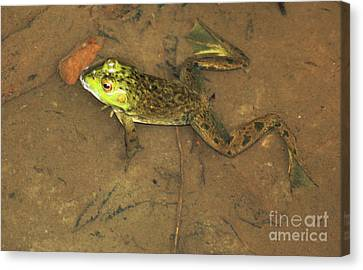 Swimming Frog Canvas Print by Nick Gustafson