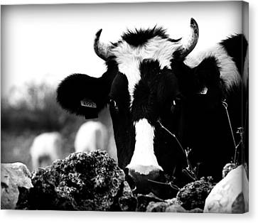 Swiss Made - A Black And White Cow What Else Canvas Print