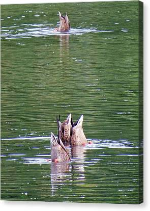 Synchronized Ducking Canvas Print by Chris Anderson