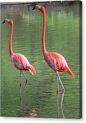 Synchronized Flamingos Canvas Print by Becky Lodes