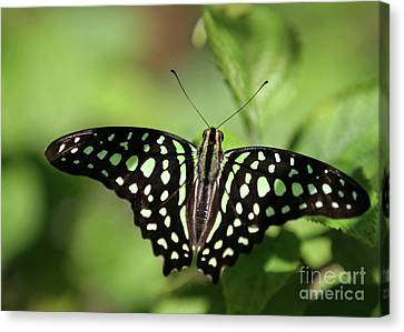 Tailed Jay Butterfly Canvas Print by Sabrina L Ryan