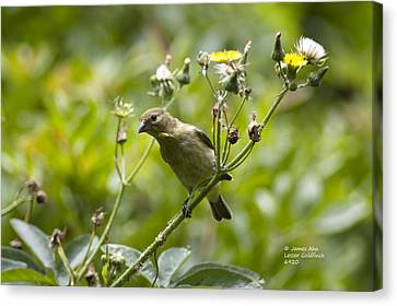 Take A Look - Lesser Goldfinch Canvas Print by James Ahn