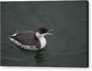 Talking Grebe Canvas Print