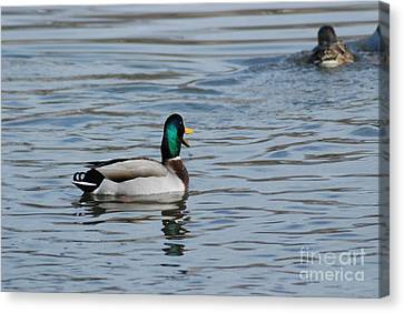 Canvas Print featuring the photograph Talking Mallard by Mark McReynolds