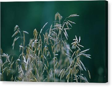 Tall Grass Seeds Canvas Print by Jaye Crist