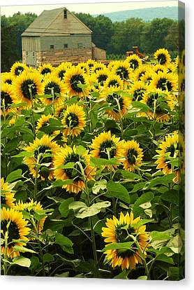 Tall Sunflowers Canvas Print by John Scates