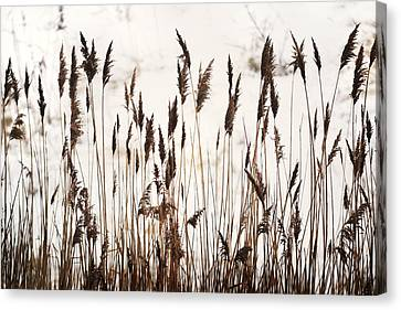 Tall Winter Grass Canvas Print by Terence Davis
