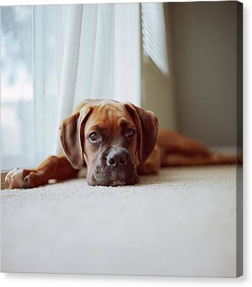 Tan Boxer Puppy Laying On Carpet Near Window Canvas Print by Diyosa Carter