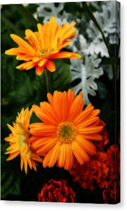 Tangerine Colored Gerbera Daisies Canvas Print by Kay Novy