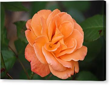 Canvas Print featuring the photograph Tangerine Rose by Donna  Smith