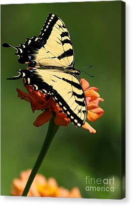 Tantalizing Tiger Swallowtail Butterfly Canvas Print by Sabrina L Ryan