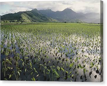 Taro Crops, Hawaii Canvas Print