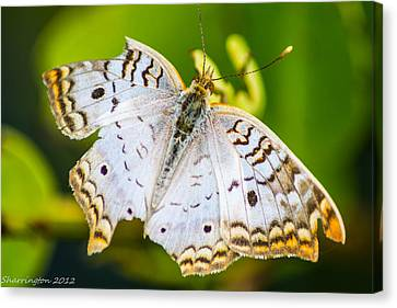 Canvas Print featuring the photograph Tattered Moth by Shannon Harrington