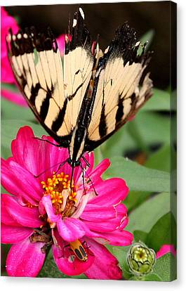 Canvas Print featuring the photograph Tattered Wings Number Two by Paula Tohline Calhoun