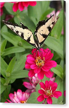 Tattered Wings Canvas Print