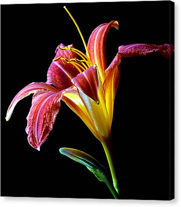 Tawny Daylily Canvas Print by Dung Ma