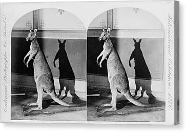 Taxidermy, Kangaroo, Philadelphia Canvas Print by Everett