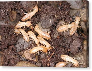 Termite Nest Reticulitermes Flavipes Canvas Print by Ted Kinsman