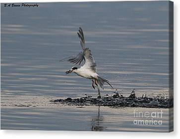 Tern Emerging With Fish Canvas Print