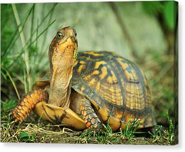 Terrapene Carolina Eastern Box Turtle Canvas Print by Rebecca Sherman