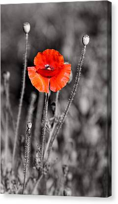Texas Hot Poppy With Black And White Canvas Print by Linda Phelps