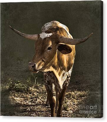 Texas Longhorn # 4 Canvas Print by Betty LaRue