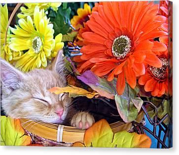 Thanksgiving Kitten Asleep In A Gerbera Daisy Basket - Kitty Cat In Fall Autumn Season Colours  Canvas Print by Chantal PhotoPix