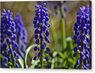 That Purple Herb Canvas Print by Lawrence Ott